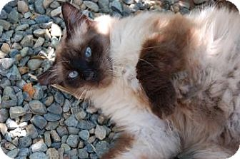 Balinese Cat for adoption in El Dorado Hills, California - Mocha