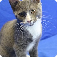 Domestic Shorthair Kitten for adoption in Winston-Salem, North Carolina - Lilly