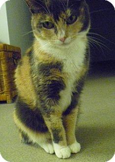 European Burmese Cat for adoption in Hamburg, New York - Adelaide