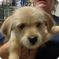 Adopt A Pet :: Eloise - Alexandria, VA