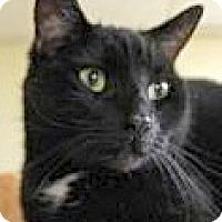 Domestic Shorthair Cat for adoption in Euclid, Ohio - Dice