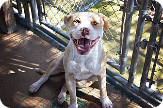 Boxer/Bulldog Mix Dog for adoption in Glastonbury, Connecticut - Poe~sweetheart~meet me!