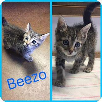 Domestic Shorthair Kitten for adoption in Alvarado, Texas - Beezo
