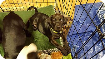 Labrador Retriever/German Shepherd Dog Mix Puppy for adoption in Forest Hill, Maryland - Diane