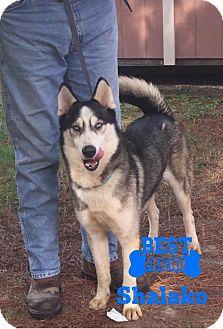 Husky Dog for adoption in Longview, Texas - Shalako