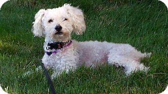 Poodle (Standard) Dog for adoption in Racine, Wisconsin - Rusty