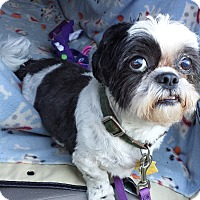 Shih Tzu Dog for adoption in Schofield, Wisconsin - Larry