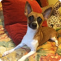 Chihuahua Mix Dog for adoption in Warwick, New York - Andy-12 lbs