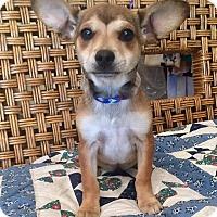 Adopt A Pet :: Zeppo - Santa Ana, CA
