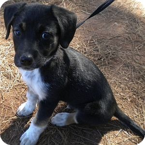 Hound (Unknown Type)/Spaniel (Unknown Type) Mix Puppy for adoption in Athens, Georgia - Kirby