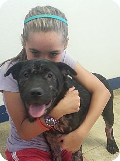 Shar Pei/Labrador Retriever Mix Puppy for adoption in Mira Loma, California - Sophi
