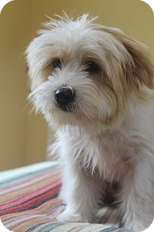 Shih Tzu/Terrier (Unknown Type, Small) Mix Puppy for adoption in Wytheville, Virginia - Mikey