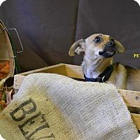 Adopt A Pet :: PETEY - Higley, AZ