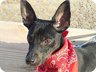 Terrier (Unknown Type, Small)/Miniature Pinscher Mix Dog for adoption in Baltimore, Maryland - Chip