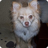 Adopt A Pet :: Bella (Pomeranian) - Jacksonville, FL