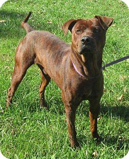 Pit Bull Terrier Mix Dog for adoption in Elkins, West Virginia - Sage