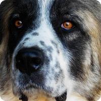 Adopt A Pet :: Silver - Kyle, TX