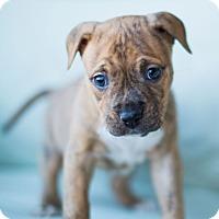 Adopt A Pet :: Emma - Reisterstown, MD