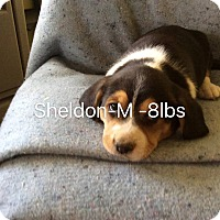 Adopt A Pet :: Sheldon - Buffalo, NY