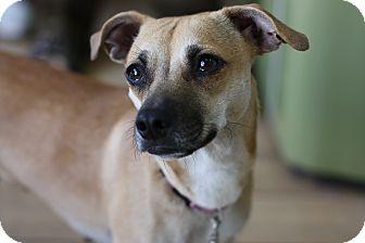 Chihuahua Mix Dog for adoption in Marina del Rey, California - Honey