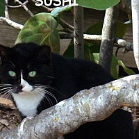 Adopt A Pet :: Sushi - Bonita Springs, FL