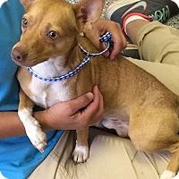 Adopt A Pet :: Webster - Barnegat, NJ