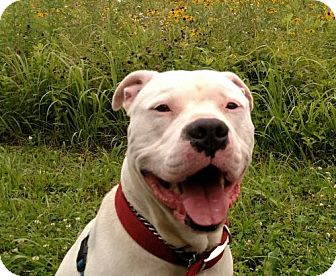 American Bulldog Mix Dog for adoption in Lawrenceville, New Jersey - Zeus