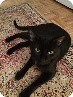 Domestic Shorthair Cat for adoption in New York, New York - Mishka