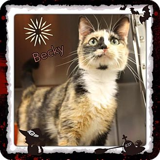 Calico Cat for adoption in Harrisburg, North Carolina - Becky