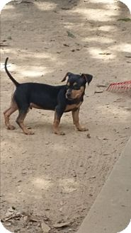 Chihuahua/Dachshund Mix Puppy for adoption in Springfield, Virginia - Columbo