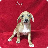 Adopt A Pet :: Ivy - Chester, IL