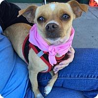 Chihuahua Dog for adoption in Mission viejo, California - Josephine