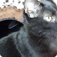 Domestic Shorthair Kitten for adoption in Columbus, Ohio - Ranger
