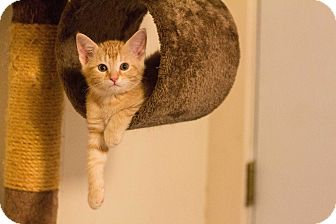 American Shorthair Kitten for adoption in Morgantown, West Virginia - Woody