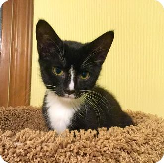 Domestic Shorthair Kitten for adoption in Mooresville, North Carolina - A..  Daelyn