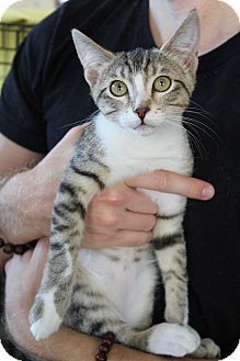 Domestic Shorthair Kitten for adoption in Los Angeles, California - Schmidt