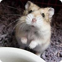 Adopt A Pet :: WHISKER - Methuen, MA