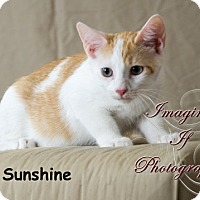 Adopt A Pet :: Sunshine - Oklahoma City, OK