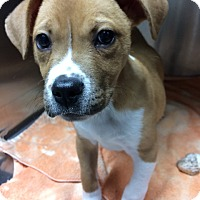 Labrador Retriever/Pit Bull Terrier Mix Puppy for adoption in St. Louis, Missouri - Scooter