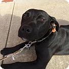 Adopt A Pet :: Pup Diamond
