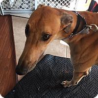 Adopt A Pet :: Mr Arkans Enoki - West Babylon, NY