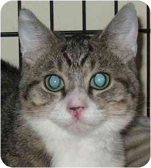 Domestic Shorthair Cat for adoption in Plainville, Massachusetts - Valley 2
