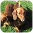 Photo 2 - Dachshund Dog for adoption in Garden Grove, California - Brutus