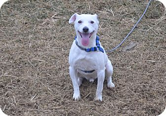 Jack Russell Terrier Mix Dog for adoption in New Cumberland, West Virginia - Rascal Flats