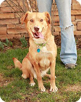 Labrador Retriever/Golden Retriever Mix Dog for adoption in Lancaster, Ohio - Corona