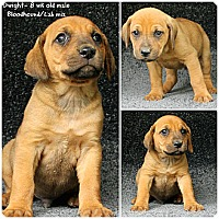 Adopt A Pet :: Dwight - Evansville, IN