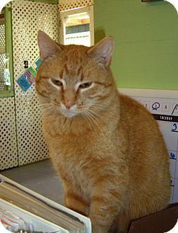 Domestic Shorthair Cat for adoption in Alden, Iowa - Sunshine