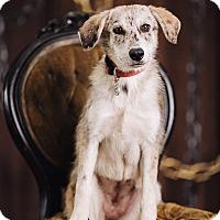 Adopt A Pet :: Porsche - Portland, OR