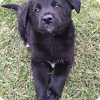 Adopt A Pet :: Arya - Joliet, IL
