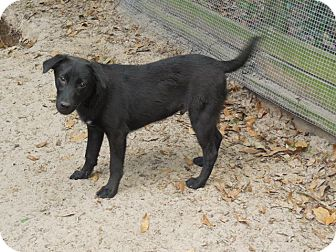 Labrador Retriever/Terrier (Unknown Type, Medium) Mix Dog for adoption in Old Town, Florida - Zack